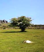 single hawthorn tree