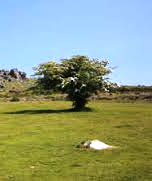 single hawthorn tree