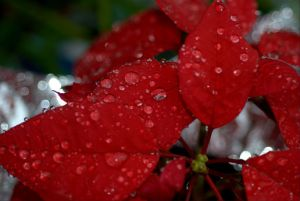 morning-rain-drops-on-poinsettia