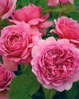 more castellian roses (3)