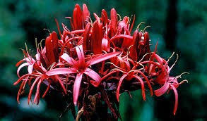 gymea lily (format)