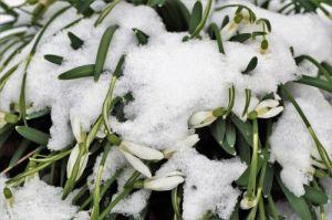 snowdrops-3237705_1280