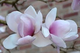 magnolia petal flower